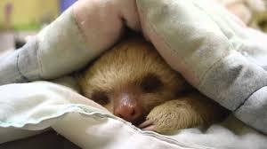 baby sloth taking a nap kstr