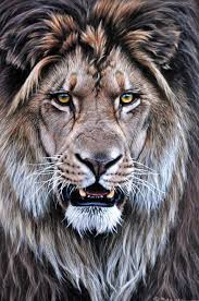 lions for sale the 25 best lion ideas on big cats mammals