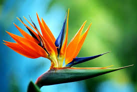 birds of paradise flower birds of paradise birds of paradise blooms and foliages