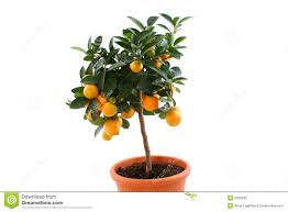 orange tree with small fruits royalty free stock image image