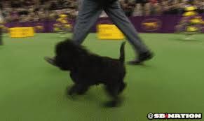affenpinscher calgary best in show 2013 affenpinscher wins at westminster dog show