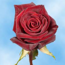 global roses black baccara roses global