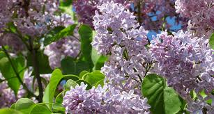 new hampshire state flower the purple lilac proflowers blog