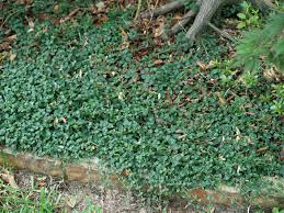 Not Your Common Groundcovers East Texas Gardening