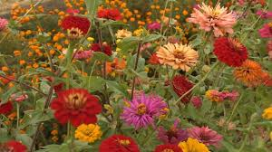 Zinnia Flowers Growing Zinnias At Home With P Allen Smith Youtube