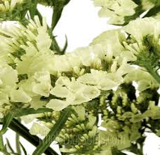 statice flowers order yellow statice wholesale flower online