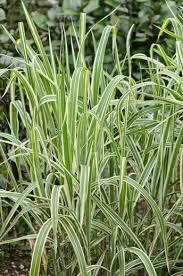 miscanthus sinensis var condensatus cosmopolitan maiden grass