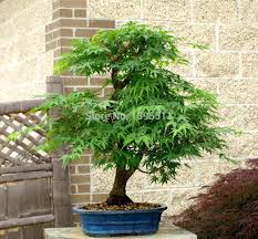 online get cheap albizia tree aliexpress com alibaba group