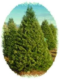 Pacific Northwest Christmas Tree Association - douglas fir fresh christmas trees