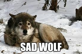 Meme Wolf - sad wolf memes wolf best of the funny meme