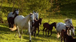white mustang horse horse nature pbs