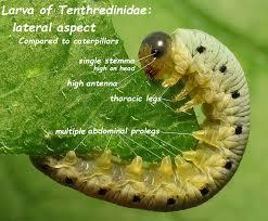film larva jam berapa simple eye in invertebrates wikipedia