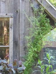 maine native plants allegheny vine fernwood nursery u0026 gardens
