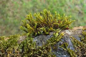 washington state native plants algae lichens and mosses on plants pacific northwest pest