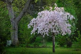 4 best cherry trees to grow in the south gardener s path