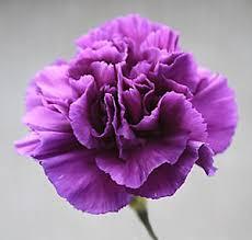 purple carnations flower carnation violet 350 finest flower seeds ebay