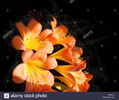 native flowering plants clivia is a genus of monocot flowering plants native to southern
