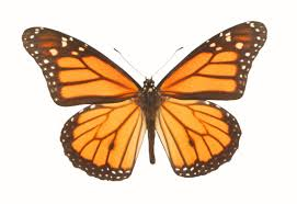 monarch butterfly clipart free download clip art free clip art