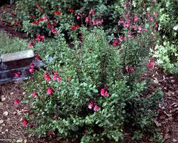plants native to mexico salvia greggii hgtv