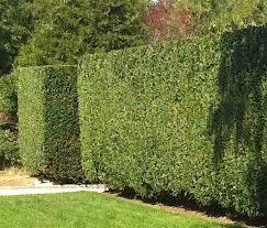 Garden Hedges Types A Marvelous Hedge Marjennings Com