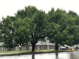 dnr avoid ornamental pear trees news 104 1 wiky