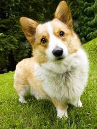 australian shepherd x corgi information about the oh so cute corgi husky mix breed dogs