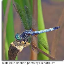 common dragonflies in maryland