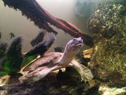 chinese soft shell turtle free to good home hindhead surrey