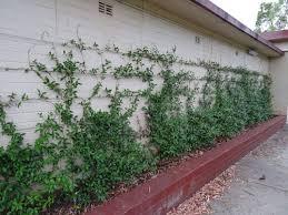 star jasmine on trellis chinese star jasmine saving our trees marrickville municipality