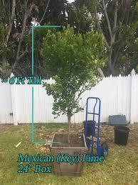 key lime tree mexican lime shiraz lime tree for sale