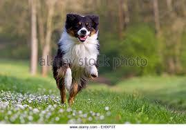 australian shepherd black australian shepherd running on stock photos u0026 australian