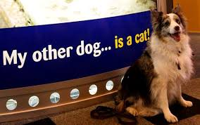 crufts australian shepherd 2014 dog pics from crufts big or small every type of dog can win the