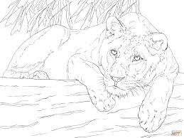 lying lioness coloring free printable coloring pages