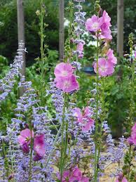 russian native plants mallow and russian sage ornamental grasses pinterest gardens