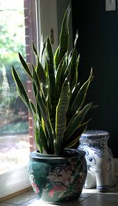 grow fresh air at home with easy indoor plants housing news