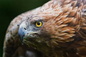 clues to conserving the golden eagle hidden in its dna audubon