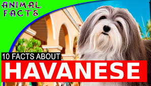 australian shepherd 101 10 cool facts about havanese dogs 101 information havanese