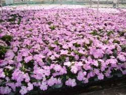 zylstra china1800 fruit bouquets wenke greenhouses buys zylstra greenhouses greenhouse grower
