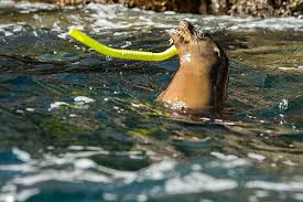 California snorkeling images Fun friday snorkeling with sea lions show me nature photography jpg