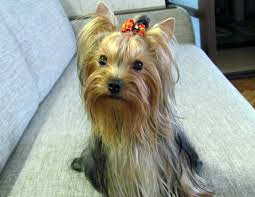 terrier coat colors vary puppy yorkie