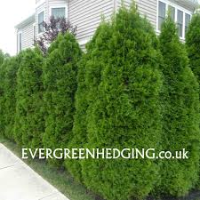 fast growing hedges garden hedges buy online