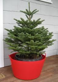 root ball christmas tree christmas lights decoration