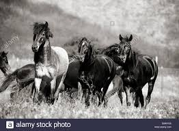 Black Mustang Horse Black And White Image Of A Herd Of Wild Mustangs At Return To