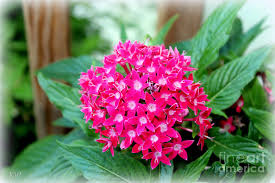 pentas flower pink pentas or flower photograph by kathy white