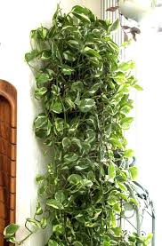 indoor vine plant vine plants indoor vine plants indoors i9life club