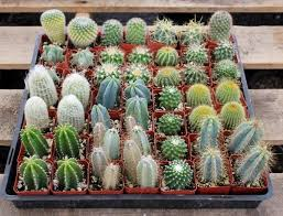 best 25 cactus plants for sale ideas on succulent