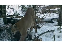 Michigan wild animals images Watch wildlife officials confirm endangered cougar sighting png