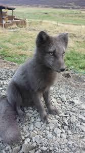 230 best animals in iceland u2013 íslensk dýr images on pinterest