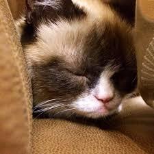 Tardar Sauce Meme - facebook grumpy cat pinterest grumpy cat cat and memes