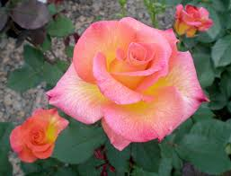 mardi gras roses best roses for carolina triangle gardener magazine